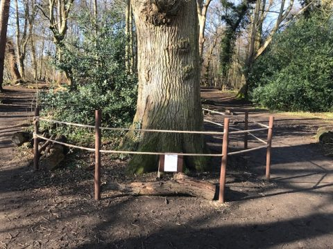 Protective ring around ancient oak in Burkes Wood