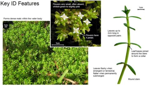 NZ pygmyweed features